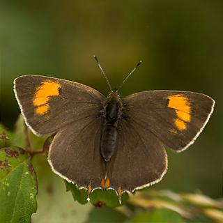 Brown Hairstreak-Butterfly