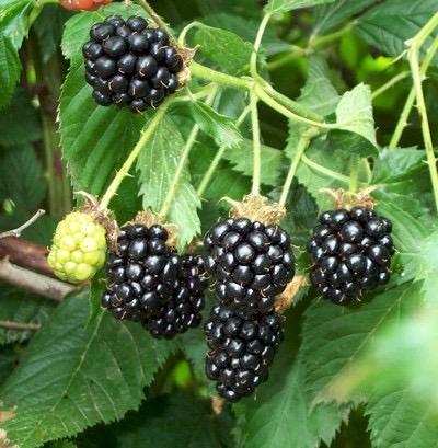 Wild Blackberry Kiss Cocktail