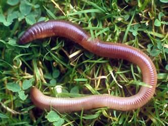 Things You Didn't Know About Earthworms