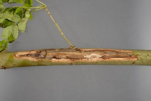 Ash Dieback - What is it?