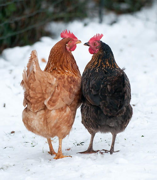 CHICKEN_IN_SNOW