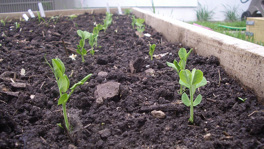 growing-peas
